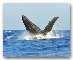 humpback whale breach Maui