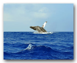 Whale Breaching